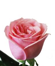1 Trandafir Roz
