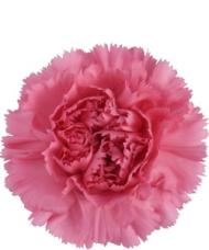 1 Garoafa roz