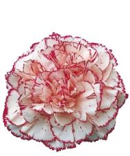 1 Garoafa roz.alb