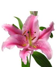 1 Crin Roz cu 5 flori